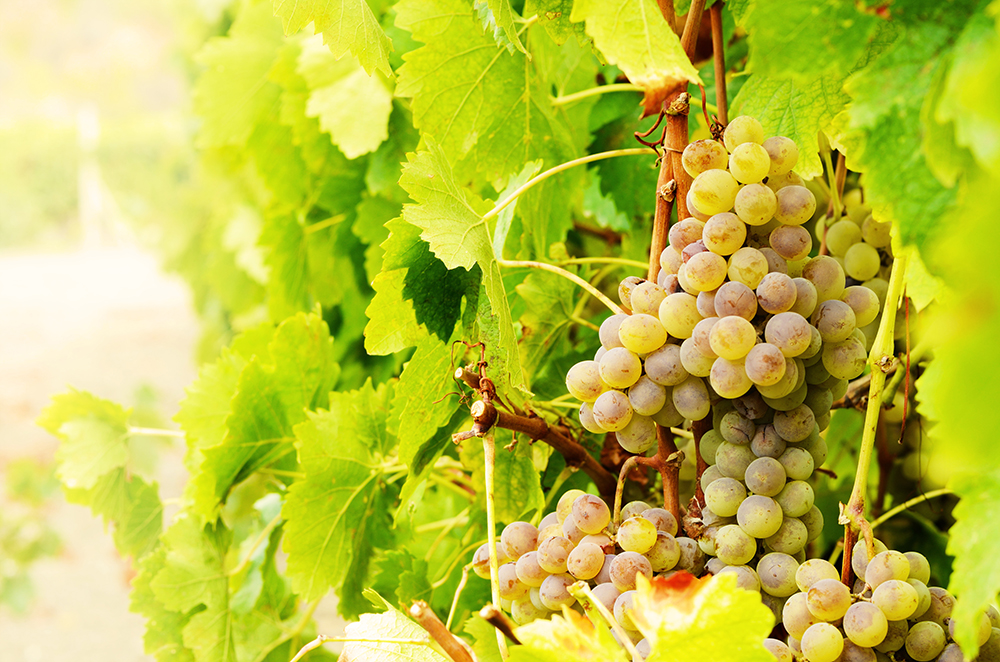 Bunch of green muscat grapes on vine at sunset time