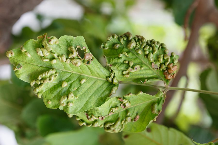 Leaf disease outbreak contact the tree leaves.